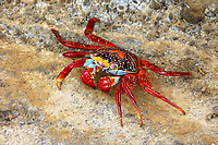Sally Lightfoot Crab (Grapsus grapsus), Galapagos Islands, Ecuador, South America