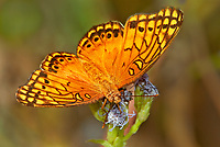 341940001 a wild varigated fritillary butterfly euptoieta claudia at  the naba site in mission hidalgo county lower rio grande valley texas united states