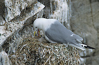 Black-legged Kittiwake, Rissa tridactyla, adult on nest feeding newly hatched young, Ekkeroy, Norway, Europe