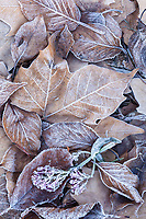 Autumn leaves with frost, Santa Rosa, California.