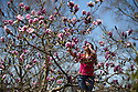 14/04/15<br /> <br /> Ahead of the hottest day of the year, Lucie Bell marvels at the Magnolia Iolanthe tree at Lea Gardens near Matlock in the Derbyshire Peak District. Garden owner, Pete Tye said: &quot;The tree normally flowers two weeks earlier than this and its blooms usually succumb to frost - but it's been worth the wait this year as it's the best we've ever seen it&quot;.<br /> <br /> All Rights Reserved - F Stop Press.  www.fstoppress.com. Tel: +44 (0)1335 418629 +44(0)7765 242650