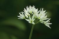 Ramson, wild garlic (Allium Ursinum), Newhailes