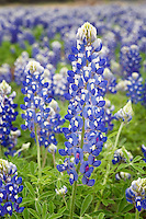 Very tall Bluebonnet, Burnet, Texas