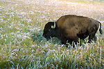 Bison in frost, Yellowstone National Park