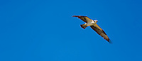 Osprey, Pandion haliaetus, in flight ,with wings outstretched in wingbeat, flying and soaring over Captiva Island, Florida USA