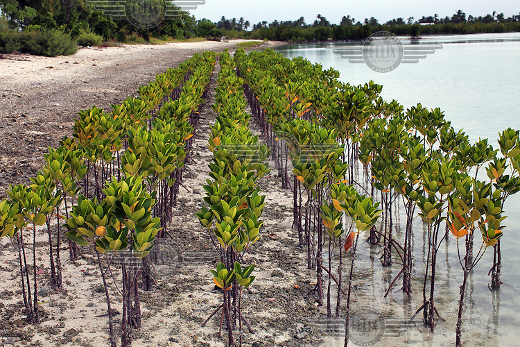 Mangrove seedlings planted by Bonriki Primary School in an initiative supported by the Ministry for the Environment. The project plans to restore natural coastal eco-systems and to protect the coastline from erosion caused by sea level rises and storm surges...