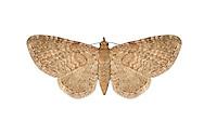 70.153 (1814)<br /> Lead-coloured Pug - Eupithecia plumbeolata