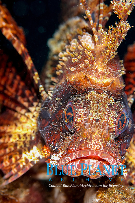 Short-fin / dwarf lionfish (dendrochirus brachypterus) , Jahir, Lembeh strait, Celebes sea, Pacific Ocean, Sulawesi, Indonesia, Asia
