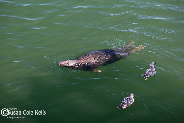 Harbor seals in Chatham, Cape Cod, Massachusetts, USA