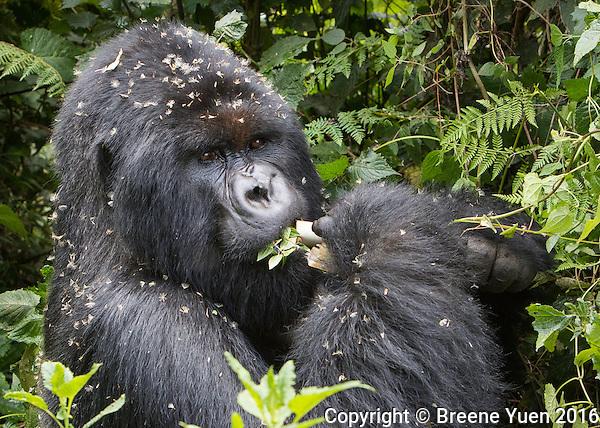 Gorilla Eating Bamboo Rwanda 2015