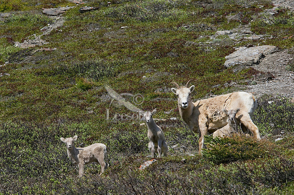 Bighorn Sheep or Mountain Sheep (Ovis canadensis) ewe with lambs (ewes seldom have twins and only one of these lambs is hers).  Northern Rockies.  June.