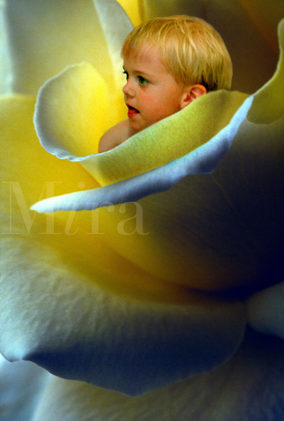 Flower baby sitting in a yellow tea rose. (Rosa sp.).
