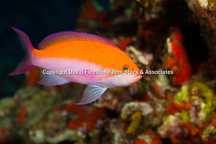 The biclor anthias, Pseudanthias bicolor, is the most common of this family in Hawaii.