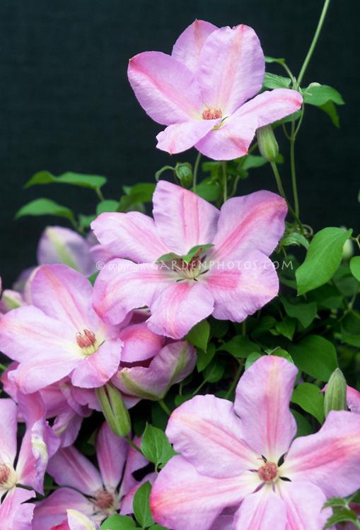Clematis 'Special Occasion' bluish pink flowering perennial vine