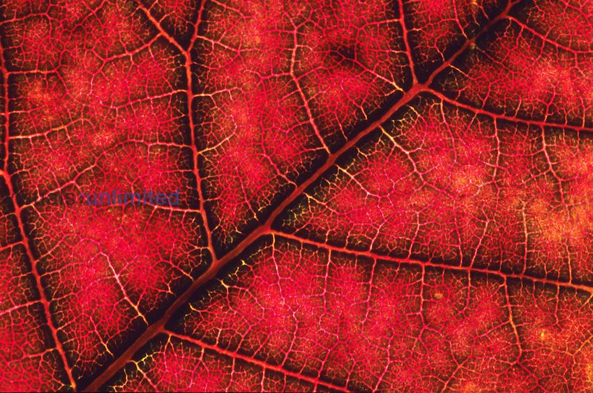 Close-up of Poinsettia leaf (Euphorbia pulcherrima).