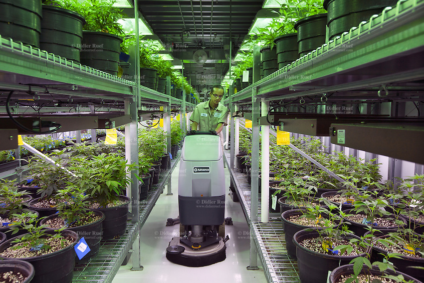 USA. Colorado state. Denver. A worker at Medicine Man is using a machine to clean the floor in one of the marijuana grow rooms. The 45 meter long room is called The Green Mile which holds row and row of plants in a vegetative state. Medicine Man began nearly six years ago as a small medical marijuana operation and has since grown to be the largest single marijuana dispensary, both recreational and medical, in the state of Colorado and has aspirations of becoming a national brand if pot legalization continues its march. Cannabis, commonly known as marijuana, is a preparation of the Cannabis plant intended for use as a psychoactive drug and as medicine. Pharmacologically, the principal psychoactive constituent of cannabis is tetrahydrocannabinol (THC); it is one of 483 known compounds in the plant, including at least 84 other cannabinoids, such as cannabidiol (CBD), cannabinol (CBN), tetrahydrocannabivarin (THCV), and cannabigerol (CBG). 18.12.2014 © 2014 Didier Ruef