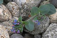Austernpflanze, Mertensie an Kiesstrand Nord - Norwegen, Mertensia maritima, Oyster Plant