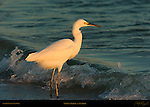 Snowy Egret at Sunrise Wave Break Sanibel Island Florida