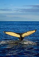 Humpback whale, Prince William Sound, Alaska