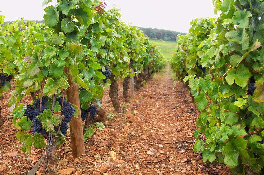 pinot noir sandy gravelly soil vineyard le corton vyd aloxe-corton cote de beaune burgundy france