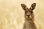Eastern Grey Kangaroo (Macropus giganteus) female, Mount Taylor Nature Reserve, Canberra, Australian Capital Territory, Australia