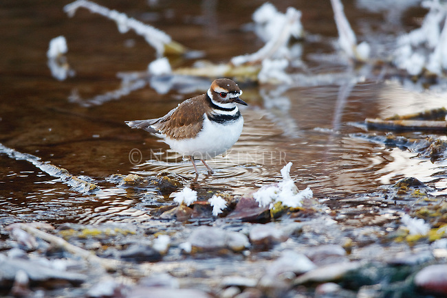 A Killdeer feeding on the shore of the Clark Fork River in Montana near Missoula