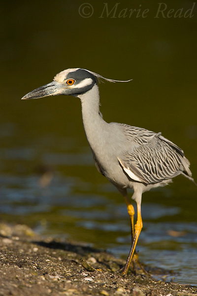 Yellow-crowned Night Heron (Nyctanassa violacea) foraging, Ding Darling National Wildlife Refuge, Florida, USA