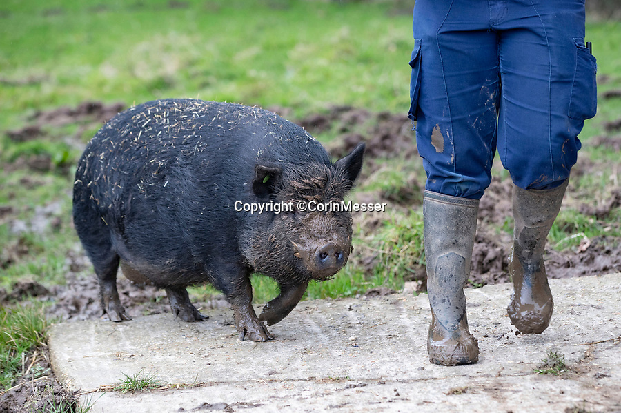 BNPS.co.uk (01202 558833)<br /> Pic: CorinMesser/BNPS<br /> <br /> Pig Sick ! - Neville the supersized micro pig is still looking for a new home after nearly five years at a Dorset rescue centre.<br /> <br /> A so-called micro pig that had to be given up by his previous owners when he grew too big is still waiting to be re-homed - nearly five years on.<br /> <br /> Unfortunate Neville is a cross between a Kune Kune and a Vietnamese pot belly pig and is said to be exceptional intelligent.<br /> <br /> Indeed, the animal rescue charity that took him in 2015 have taught him a variety of tricks to keep him occupied and his brain stimulated.<br /> <br /> Neville can sit, spin around, and even pass through his trainer's legs much like his a canine equivilants.