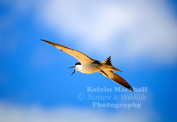 A Sooty Tern (Onychoprion fuscata) in flight over the Michaelmas Cay bird sanctuary. Great Barrier Reef, Queensland (Australia).