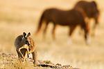 Eastern Grey Kangaroo (Macropus giganteus) juvenile with Domestic Horses (Equus caballus) grazing in the background, Mount Taylor Nature Reserve, Canberra, Australian Capital Territory, Australia