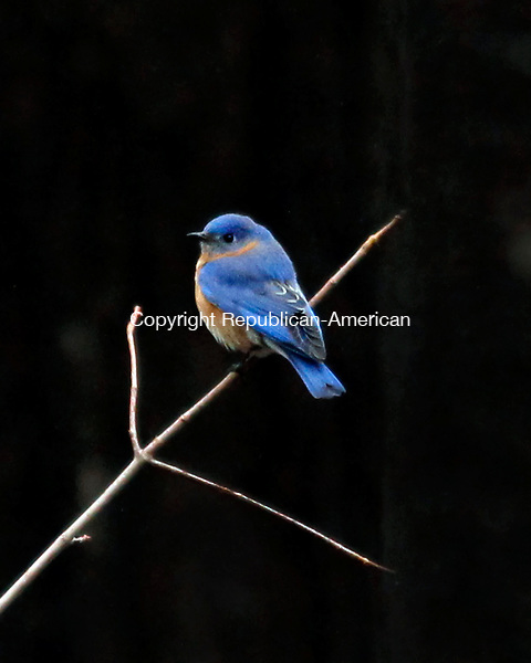 Middlebury, CT- 13, April 2011-041311CM01  A bluebird rests for a moment on a branch at Hop Brook Dam in Middlebury Wednesday afternoon.  Today is supposed to feel more Spring-like with mostly sunny skies and highs in the mid 60's.  Christopher Massa Republican-American