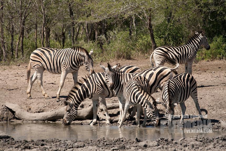 Herd of Plains Zebra (Equus quagga burchellii).Waterhole. Fall, December 2007..Hluhluwe Imfolozi Game Reserve, KwaZulu Natal, South Africa.