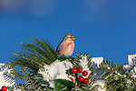 Common redpoll perched on a festive backyard fence.