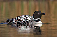 Common Loon swimming on a golden lake