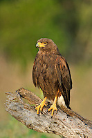 541950080 a wild adult harris hawk parabuteo unicinctus perches on a dead tree limb on a ranch in the rio grande valley of south texas