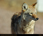 Coyote, Close Portrait, Bosque del Apache Wildlife Refuge, New Mexico