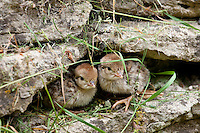 Red-Legged Partridge newborn chicks (French Partridge) Alectoris rufa,  The Cotswolds, UK