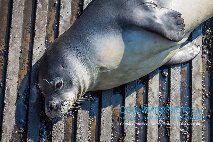 Hawaiian monk seal, Monachus schauinslandi, basking at boat ramp, young male, critically endangered species, Honokohau Harbor, Kona Coast, Big Island, Hawaii, USA, Pacific Ocean