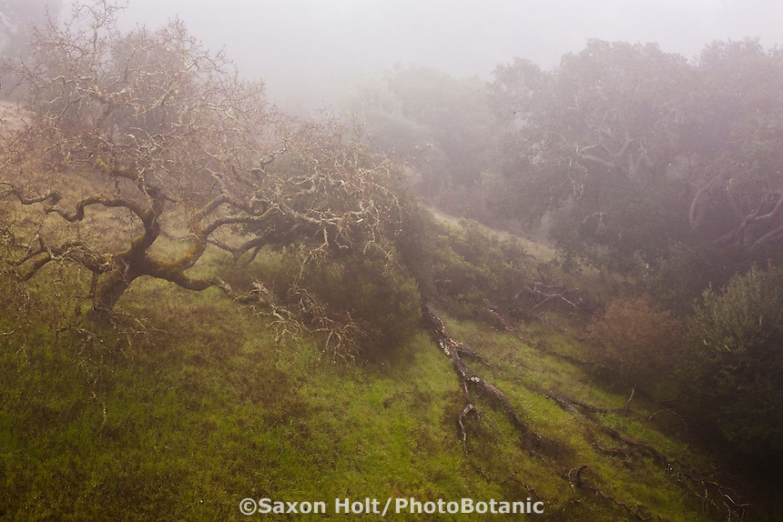 Cherry Hill Oak trees and misty spring California grass lands in morning fog