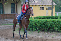 Practice session of Hungarian wonderhorse called Overdose, Dunakeszi, Hungary. Friday, 17. April 2009. ATTILA VOLGYI