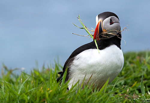 A puffin carries grass in it's beak back to the burrow for nest building during breeding season.