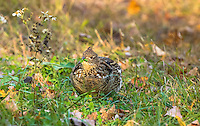 Ruffed grouse eating clover