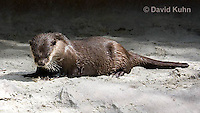 0508-1008  Cape Clawless Otter (African Clawless Otter or Groot Otter), Aonyx capensis capensis  © David Kuhn/Dwight Kuhn Photography.