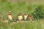 Young Burrowing Owls at Nest
