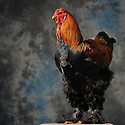 23/11/12 - MONTLUCON - ALLIER - FRANCE - Concours National Avicole de Montlucon. GR Coq Brahma perdrix maille dore. Eleveur Monique Pernette - Photo Jerome CHABANNE