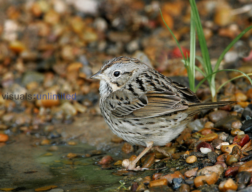 Lincoln's Sparrow ,Melospiza lincolnii,, Southwest USA.