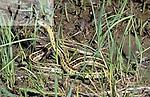 Red-sided Garter Snake (Thamnophis sirtalis), Missouri, USA.