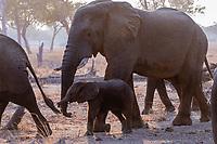africa, Zambia, South Luangwa National Park,  elephants at the Luwanga park sunrise