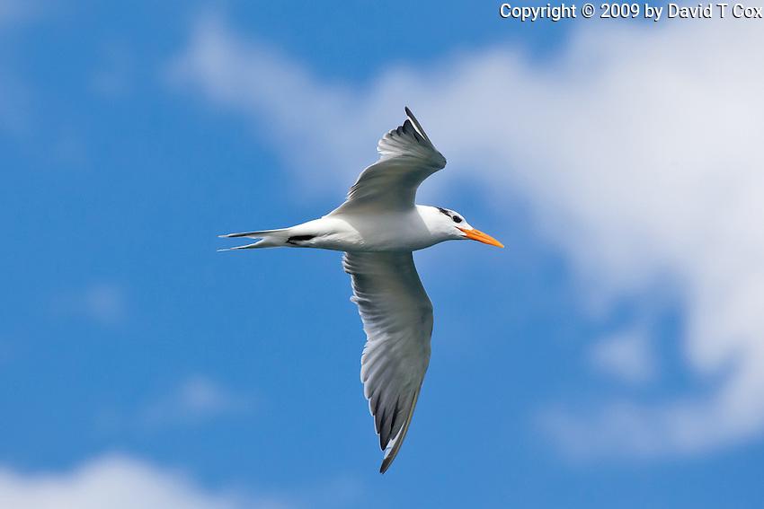 Royal Tern, Loreto, Baja Sur, Mexico