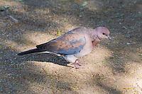 Laughing Dove, Kruger NP, SA